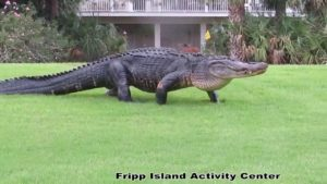 Massive gator takes stroll on South Carolina golf course